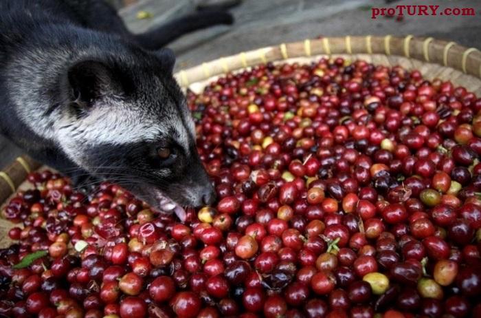 Производство кофе Luwak (Вьетнам)